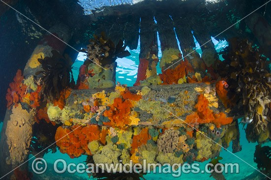Colourful sea sponges and sea weeds decorate the pylons and cross beams under Blairgowrie Jetty. Port Phillip Bay, Mornington Peninsula, Victoria, Australia. Photo - Gary Bell