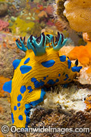 Tambja Nudibranch Victoria Photo - Gary Bell