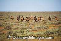 Emus Outback Australia Photo - Gary Bell
