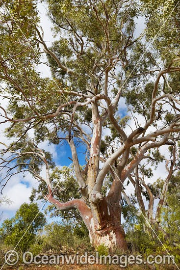 Giant Silverton River Red Gum (Eucalyptus sp.), growing in the Umberumberka Creek, near the outback town of Silverton. New South Wales, Australia. Photo - Gary Bell