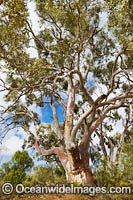 Silverton River Red Gum Photo - Gary Bell