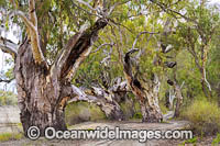 River Red Gums Darling River Photo - Gary Bell