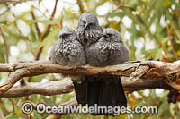 Apostlebird Struthidea cinerea Photo - Gary Bell