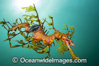 Leafy Seadragon with Parasitic Fish Lice Photo - Gary Bell