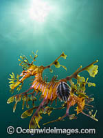 Leafy Seadragon with Fish Lice Photo - Gary Bell
