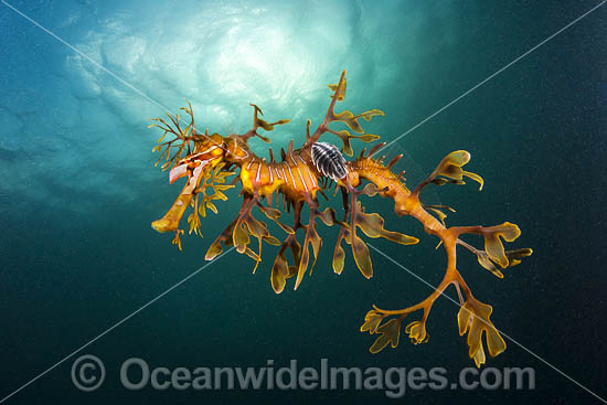 Leafy Seadragon (Phycodurus eques), with a Parasitic Fish Lice, or Parasitic Isopod (Creniola laticauda) attached. Found from Lancelin, WA, to Wilsons Promontory, Vic, but mostly in SA waters and southern WA waters. Photo: York Peninsula, South Australia. Photo - Gary Bell
