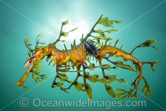 Leafy Seadragon (Phycodurus eques), with a Parasitic Fish Lice, or Parasitic Isopod (Creniola laticauda) attached. Found from Lancelin, WA, to Wilsons Promontory, Vic, but mostly in SA waters and southern WA waters. Photo: York Peninsula, South Australia.