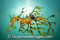 Leafy Seadragon with Parasitic Lice Photo - Gary Bell