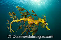 Leafy Seadragon Photo - Gary Bell
