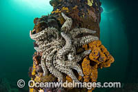 Eleven-arm Sea Star Photo - Gary Bell
