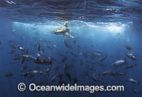 Bronze Whaler Shark and Tuna Photo - Chris & Monique Fallows