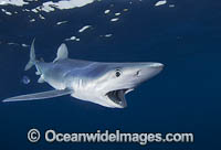 Blue Shark South Africa Photo - Chris & Monique Fallows