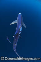 Blue Shark South Africa image