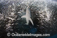 Blue Shark feeding on baitball Photo - Chris & Monique Fallows