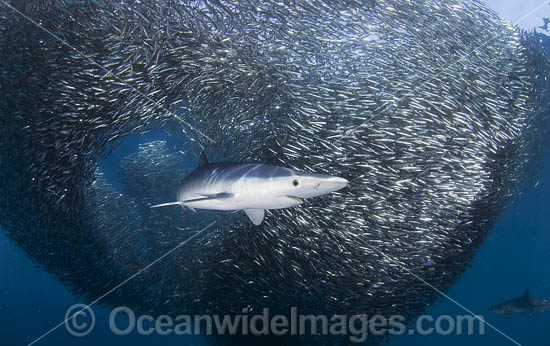 Blue Shark (Prionace glauca), feeding on an anchovy baitball. Also known as Blue Whaler and Great Blue Shark. This oceanic Shark is found in tropical and temperate seas worldwide. Photo taken at Cape Point, South Africa