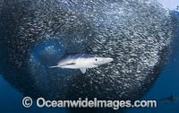 Blue Shark feeding on anchovy baitball photo