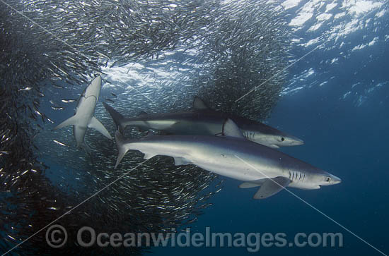 Blue Shark feeding on baitball photo
