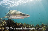 Grey Nurse Shark South Africa Photo - Chris & Monique Fallows