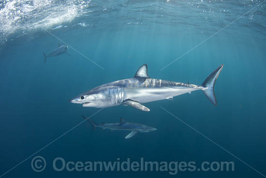 Shortfin Mako Shark (Isurus oxyrinchus). Also known as Mako Shark, Blue Pointer, Mackeral Shark and Snapper Shark. Found in both tropical and temperate seas of the world. Photo taken at Cape Point, South Africa. Photo - Chris & Monique Fallows