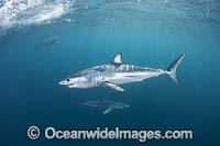 Mako Shark South Africa Photo - Chris & Monique Fallows
