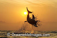 Great White Shark attacking seal photo