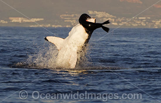 Great White Shark (Carcharodon carcharias). Predation breach on a Cape Fur Seal. Seal Island, False Bay, South Africa.