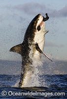 Great White Shark breaching on decoy Photo - Chris & Monique Fallows