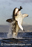 Great White Shark breaching on decoy photo