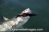 Great White Shark predating on seal image