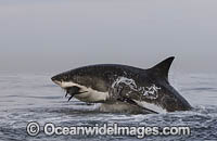 Great White Shark attacking seal image