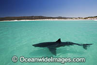 Great White Shark on surface photo