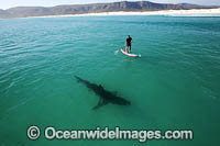 Paddle boarder and Shark photo
