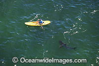Kayaker and Shark Photo - Chris & Monique Fallows