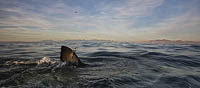 Great White Shark satellite tag Photo - Chris & Monique Fallows