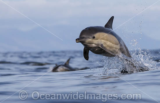 Common Dolphin (Delphinus capensis). False Bay, South Africa. Found in warm-temperate and tropical seas throughout the world. Photo - Chris and Monique Fallows