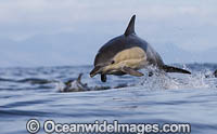 Dolphin Delphinus capensis photo