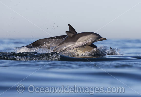 Common Dolphin (Delphinus capensis), mother with calf. False Bay, South Africa. Found in warm-temperate and tropical seas throughout the world.
