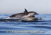 Dolphin mother and baby Photo - Chris and Monique Fallows
