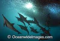 Dolphin feeding on sardines photo
