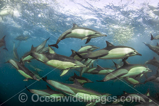 Common Dolphin (Delphinus capensis), feeding on sardine. Sardine Run, East London, South Africa. Found in warm-temperate and tropical seas throughout the world.