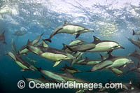 Dolphin at sardine run photo