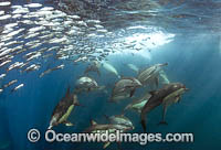 Sardine Run South Africa photo