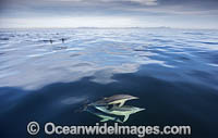 Common Dolphin Delphinus capensis photo