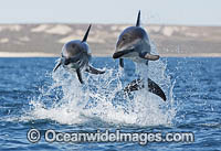 Dusky Dolphin Lagenorhynchus obscurus Photo - Chris and Monique Fallows