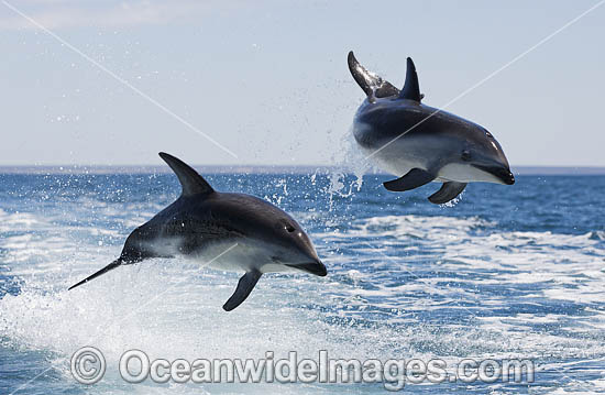 Dusky Dolphin Argentina photo