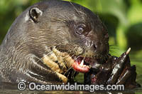 Giant Otter hunting fish stock photo