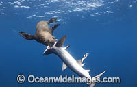 Cape Fur Seal predating on Blue Shark Photo - Chris & Monique Fallows