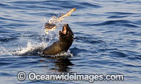 Cape Fur Seal feeding on catshark Photo - Chris & Monique Fallows