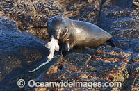 Cape Fur Seal feeding on shyshark Photo - Chris & Monique Fallows