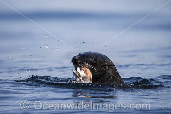 Cape Fur Seal (Arctocephalus pusillus), feeding on Octopus. False Bay, Cape Town, South Africa.